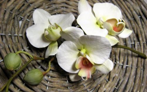 orchidee-bianche paola-avesani-07