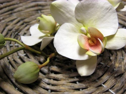 orchidee-bianche paola-avesani-08